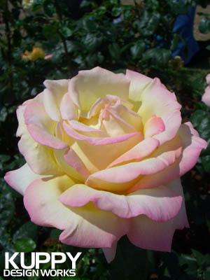 靱公園のバラ3