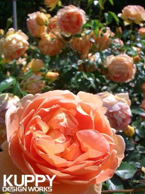 靱公園のバラ4