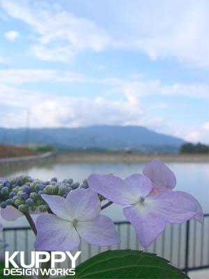橋本市恋野の紫陽花