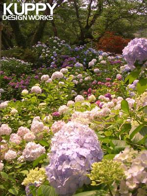 矢田寺のあじさい園