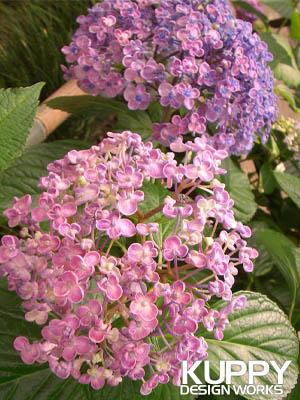 矢田寺のかわいい紫陽花