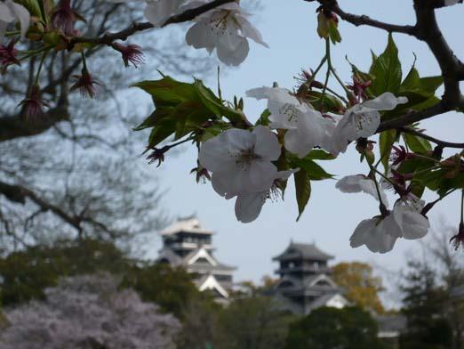 2008.04.06 桜と熊本城