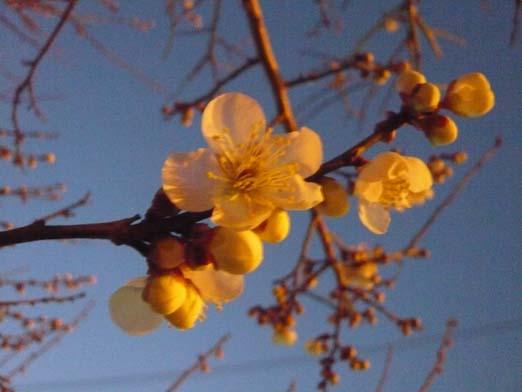 2009.02.07 梅の花