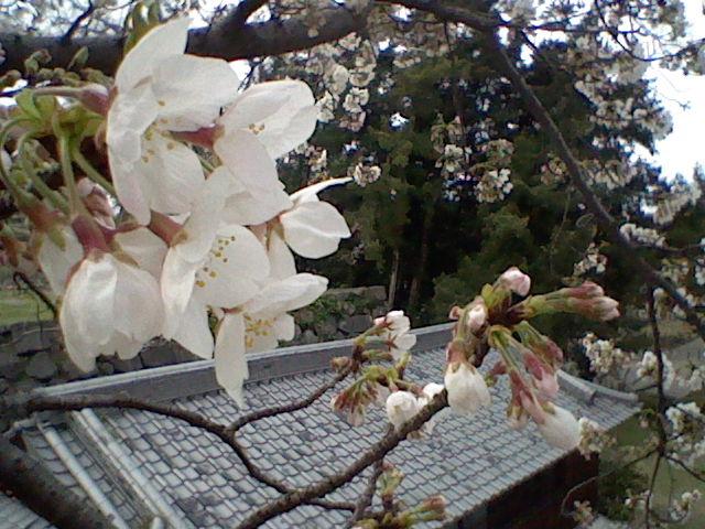 2009.03.21 八代宮の桜