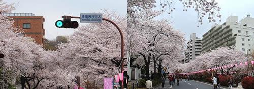 播磨坂桜並木1