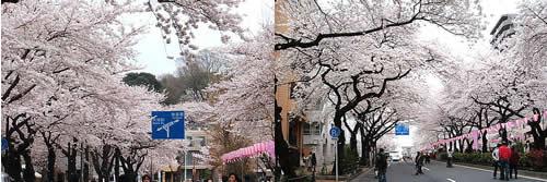 播磨坂桜並木2
