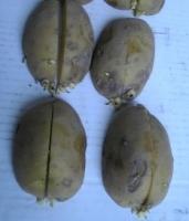 切断した秋ジャガイモの種イモ