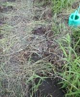 ダイコンの播種、無耕起栽培
