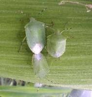 アオクサカメムシの成虫