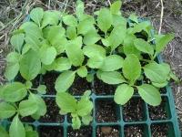 国府白菜の苗