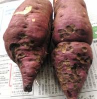 コガネムシ類にかじられたサツマイモ