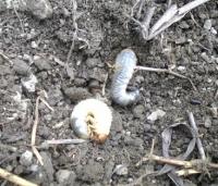 コガネムシ類の幼虫