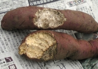 サツマイモのネズミによる食害痕