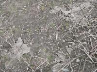 タマネギ苗床の土の盛り上がり