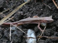 ニホンカナヘビの幼体
