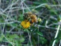 ミツバチとコセンダングサ