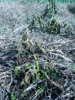 秋ジャガイモ霜に枯れる