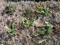 ダイコンを自家採種のために定植