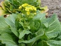 ハクサイの花茎