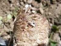 オナガアシブトコバチ