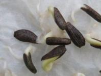 ゴボウの発芽