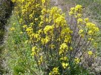 コウサイタイの花々