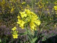 ノザワナの花