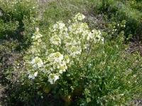 カイラン花盛り
