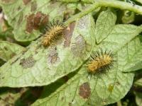 オオニジュウヤホシテントウの幼虫