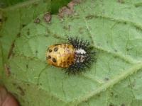 オオニジュウヤホシテントウの蛹