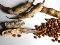 ダイコンのサヤと種
