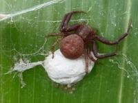 ホンクロボシカニグモ