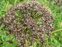 時なし五寸人参の種の花