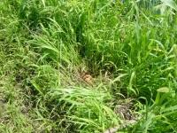 草の中のタマネギ