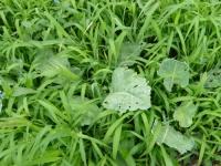 コールラビー草に埋もれる