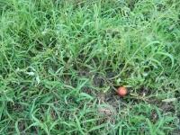 世界一トマト収穫