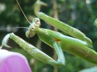 チョウセンカマキリの前肢の付け根