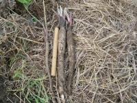 百日一尺ゴボウの収穫