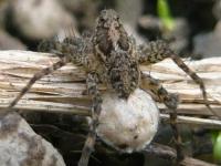 ウヅキコモリグモの卵