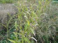 ハトムギ収穫前の状態