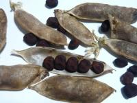 ツタンカーメンのエンドウの種