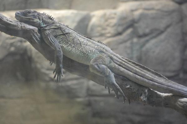 夜の大蜥蜴