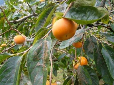 当館所有の柿の木