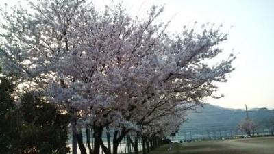 ☆小学校グランドの桜☆