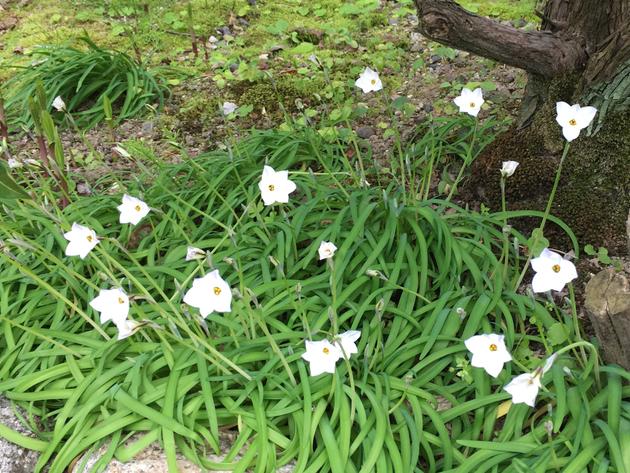 真っ白の花