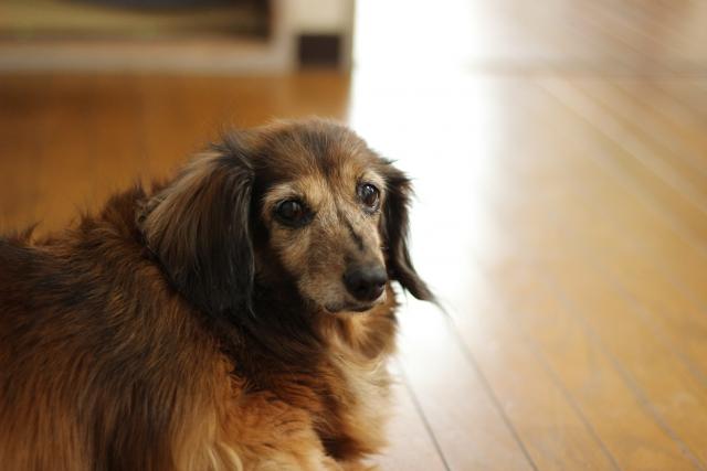 ダックスフンドのシニア犬