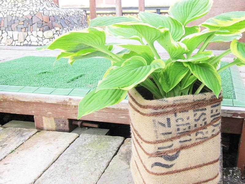ホスタの鉢植え