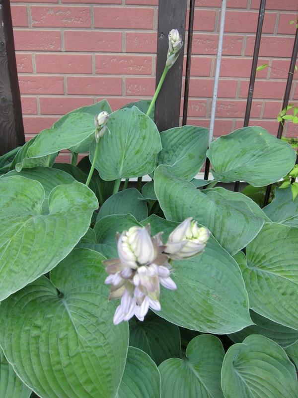ギボシの花