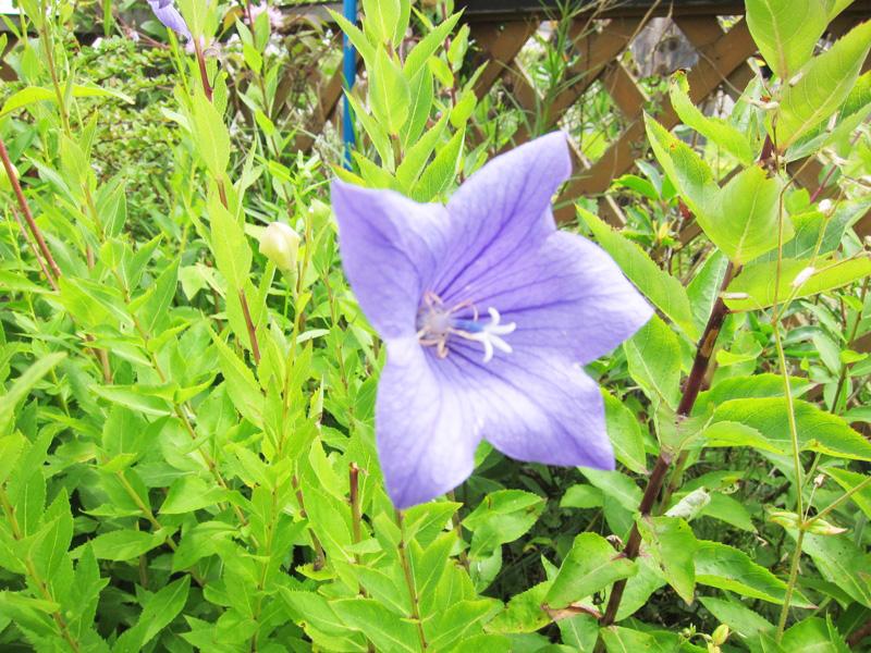 キキョウ-紫