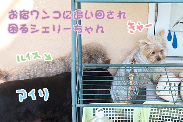 11月16日太田シェリーちゃん2.jpg